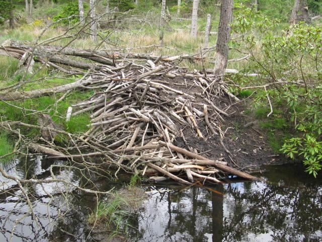 Beaver Lodge on pond