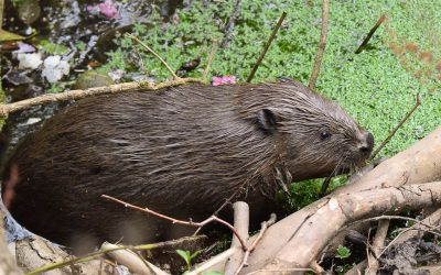 Beavers are to be legally protected in Scotland!