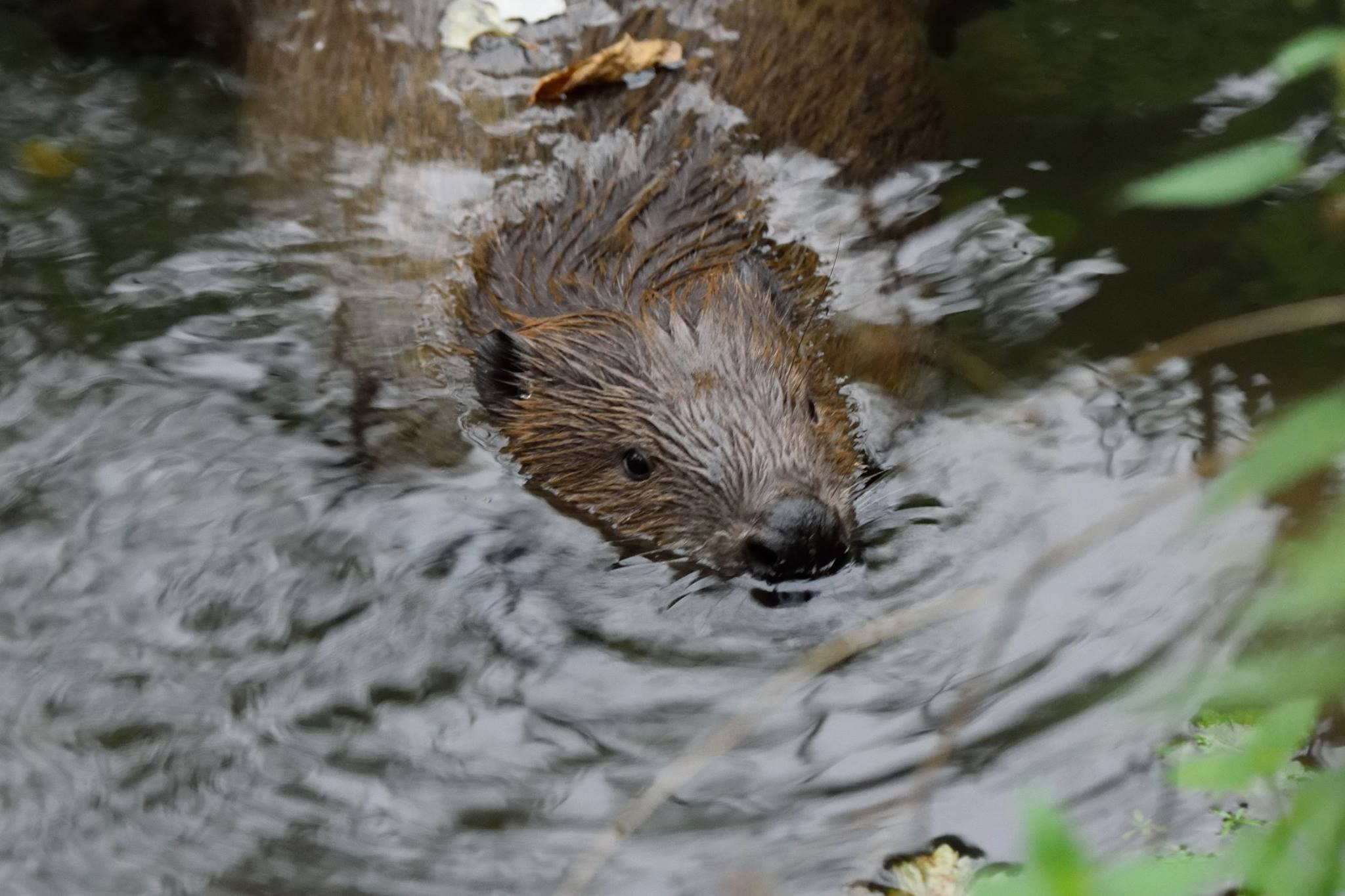 A fifth of Scotland's beavers lethally controlled in 2019