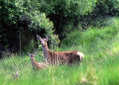 Hind and calf