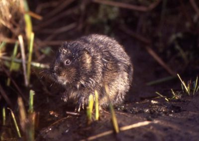 Mountain water vole