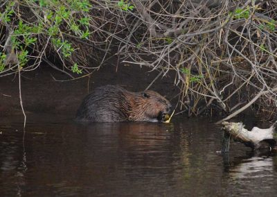 A beaver on the Earn