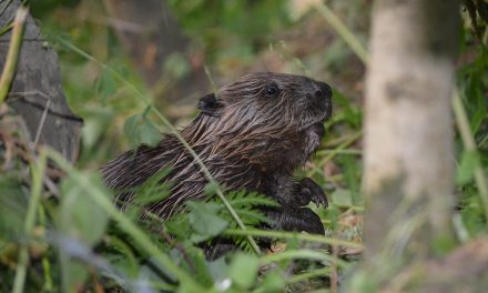 Scotland's beavers need protection