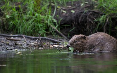 Beavers protected under Scottish law
