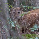Regarding Reintroductions: The Lynx and the Beaver
